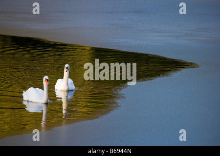 Two Mute swans in water with colourful reflections - Stock Photo