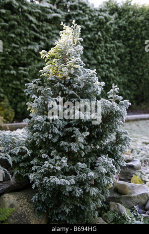 Dwarf fir tree covered in frost - Stock Photo