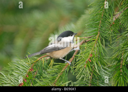 Black-capped Chickadee perched on a Fir Branch - Stock Photo