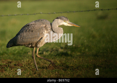 grey heron ardea cinerea hunting for worms in farmland - Stock Photo