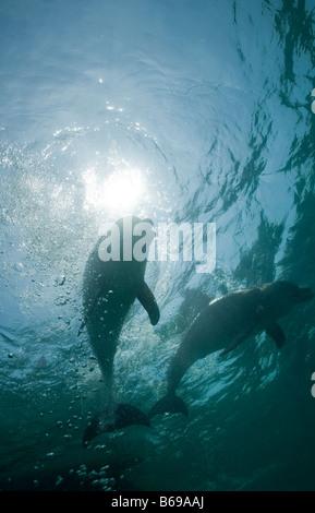 Bahamas Grand Bahama Island Freeport Captive Bottlenose Dolphin Tursiops truncatus swimming in Caribbean Sea at - Stock Photo