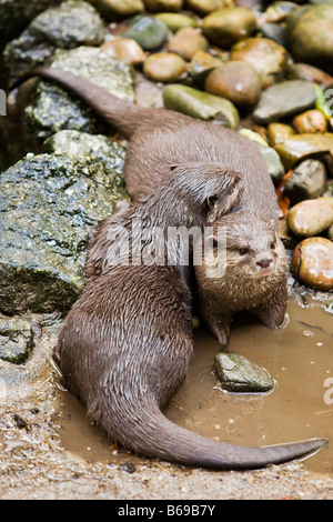 A pair of otters - Stock Photo