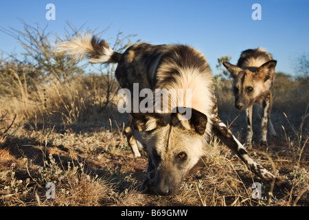 African Wild Dogs Lycaon pictus Endangered Dist Sub Saharan Africa - Stock Photo