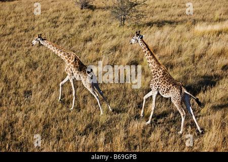 Aerial view of Southern Giraffe running over the Okavango Delta Botswana - Stock Photo