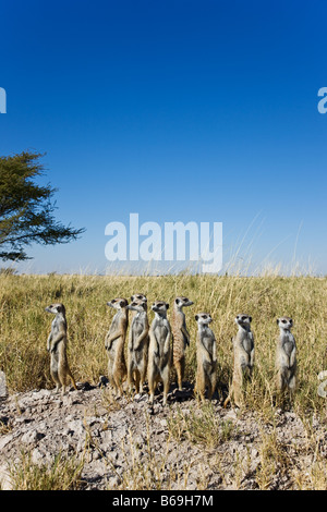 Suricate Meerkat Suricata suricatta Sentinals stand upright to gain wider view of surrounding area Botswana - Stock Photo