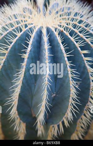 Ferocactus glaucescens Barrel Cactus - Stock Photo