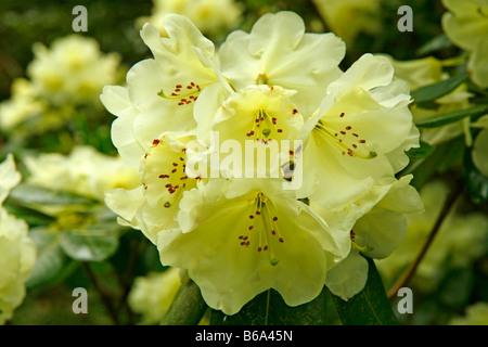 Royal Botanic Gardens Kew in Richmond London England Azalea garden Rhododendron hybr Roza Stevenson - Stock Photo