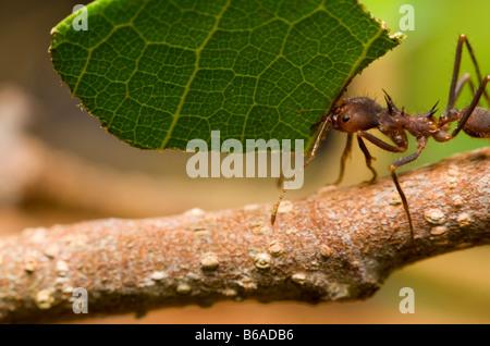 LEAF-CUTTER ANT carrying leaf Atta sp. Amazonian Rainforest