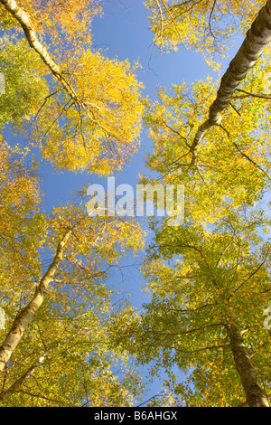 Silver birch trees in autumn, England, UK - Stock Photo