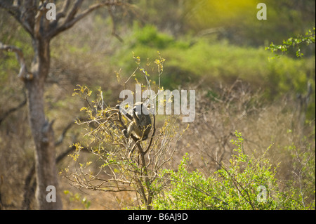wildlife wild  Chacma Baboon PAPIO URSINUS primate monkey sitting in tree feeding south-Africa south africa mammal - Stock Photo