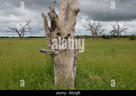 Africa Botswana Chobe National Park Bleached dead acacia tree surrounded by green grass growing in Savuti Marsh - Stock Photo