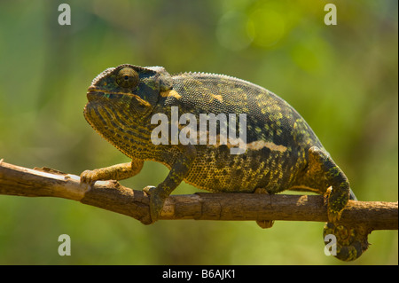 wild wildlife Chamaeleon chamäleon 1 one single green white brown south-africa chameleon on a branch green background - Stock Photo