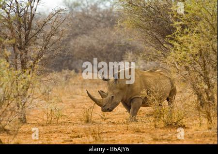 wild White Rhinoceros rhino CERATOTHERIUM simum  in acacia woodland south-africa wildlife wilderness - Stock Photo