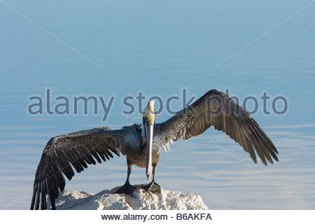 Brown Pelican Pelecanus occidentalis perched standing on rock wings spread Brown - Stock Photo