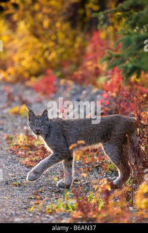 A wild Lynx Denali National Park Alaska - Stock Photo