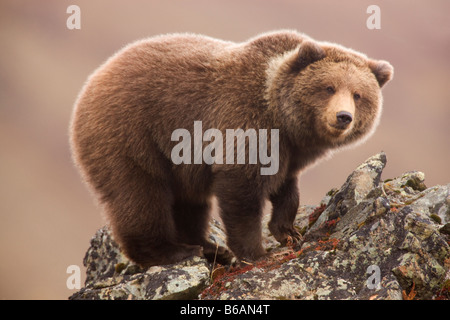 Grizzly Bear also called Brown Bear Denali National Park Alaska - Stock Photo