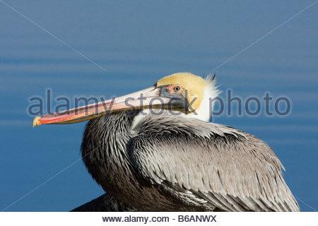 Brown Pelican Pelecanus occidentalis close up perched standing - Stock Photo