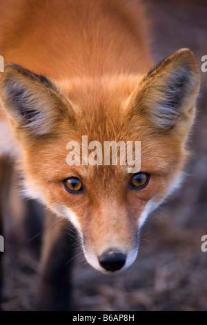 Red Fox Denali National Park Alaska - Stock Photo