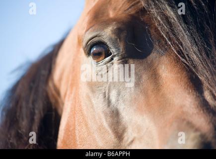 Detail of Quarter Horse stallion - Stock Photo