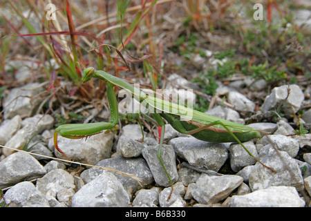 Gottesanbeterin praying mantis Mantidae european - Stock Photo