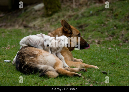 Alsation dog with two orphan lambs Capel Curig Snowdonia North Wales - Stock Photo