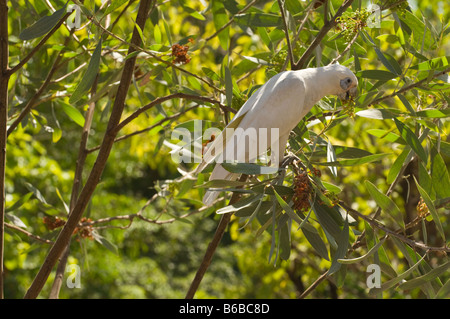 Little Corella (Cacatua sanguinea) feeding on Strap Wattle (Acacia holosericea) fruit Manngarrre Car Park East Aliligator - Stock Photo