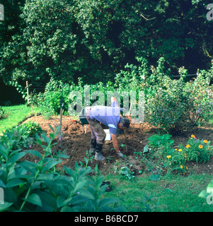 A man digging up potatoes in his rural organic garden Wales UK KATHY DEWITT - Stock Photo