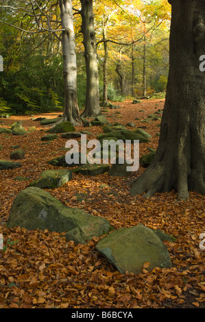 Common Beech (Fagus sylvatica) in autumn Scotland Wood Adel Leeds West Yorkshire England UK Europe - Stock Photo