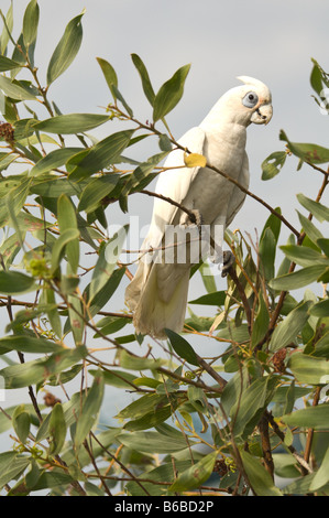 Little Corella (Cacatua sanguinea) feeding on Strap Wattle (Acacia holosericea) Window on the Wetlands Visitors - Stock Photo