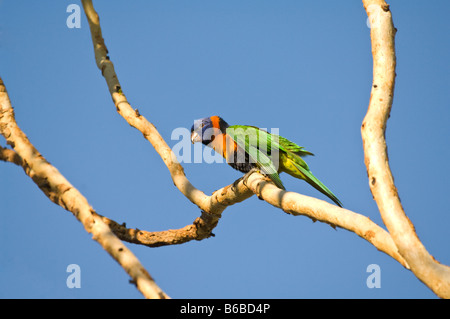 Red-collared Lorikeet (Trichoglossus rubritorquis) 4 month old chick perched on the branch NT Australia - Stock Photo