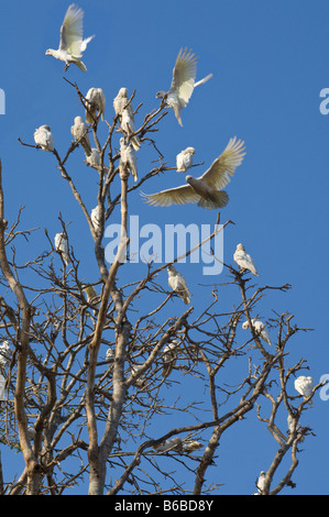 Little Corella (Cacatua sanguinea) flock settling down for the night on tree top Shady Camp Mary River Northern - Stock Photo