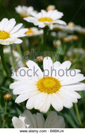 Oxeye daisy (Leucanthemum vulgare) flowers blooming - Stock Photo