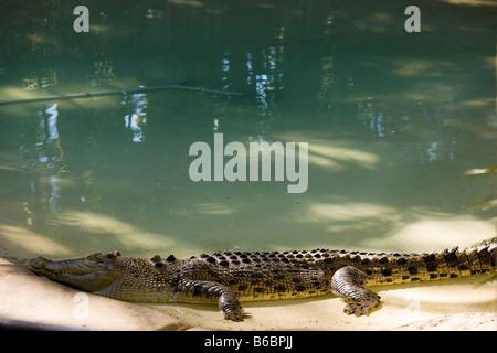 Saltwater Crocodile in The Australia Zoo, the zoo of the Steve Irwin Family near Brisbane Australia. - Stock Photo