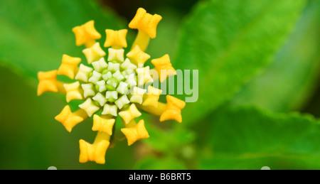 A close up shoot of yellow lantana camara - Stock Photo