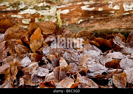 Copper Beech trees leaves on the ground in Thorndon Park in Essex.