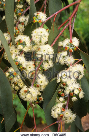 Eucalyptus niphophila flowers - Stock Photo