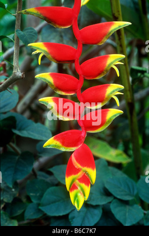 Heliconia plant (aka Lobster claw plant) in the garden at Nuuk Cheil Cottages Maya Centre village, Stann Creek district, - Stock Photo