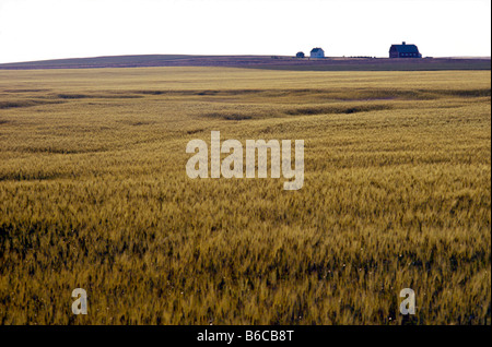 Cornfield in Saskatchewan Canada the Bread Basket of the World - Stock Photo
