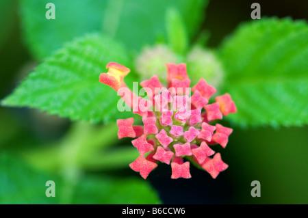 Close up shoot of pink lantana camara flowers - Stock Photo