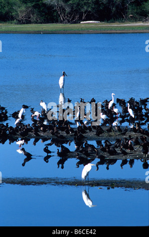 Jabiru stock, wood storks, cormorants, white ibis and several types of egret wade in the Crooked Tree Lagoon, Belize - Stock Photo