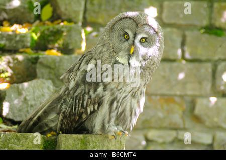 Close-up of Great grey owl (Strix nebulosa) - Stock Photo