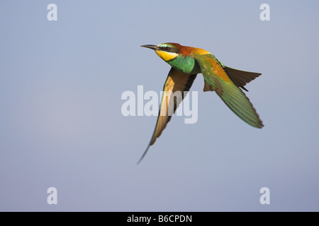 European Bee-eater (Merops apiaster) in flight - Stock Photo