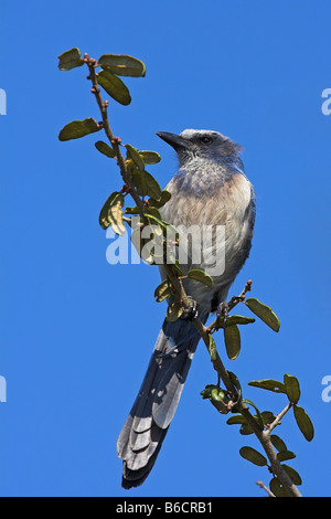 Close-up of Florida Scrub Jay (Aphelocoma coerulescens) perching on branch - Stock Photo