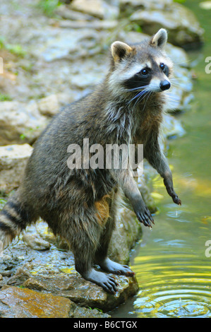 Raccoon (Procyon lotor) standing on hind legs at riverside - Stock Photo