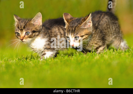 Close-up of two kittens walking in lawn - Stock Photo