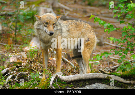 Gray wolf (Canis lupus) standing in field - Stock Photo