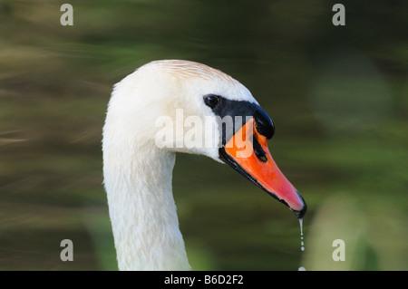 Close-up of Mute swan (Cygnus olor) - Stock Photo