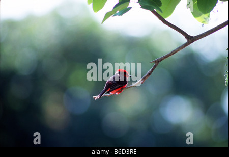 Tiny vermilion flycatcher (Pyrocephalus rubinus) perched on the branch of a tree in the village of Crooked Tree, - Stock Photo