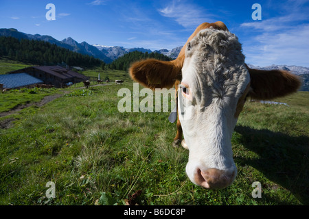 Cow on meadow at Gotzenalm near Koenigssee Berchtesgaden Alps Germany August 2008 - Stock Photo
