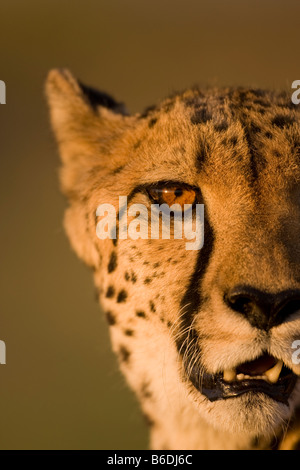 Africa Namibia Keetmanshoop Captive Adult Cheetah Acinonyx jubatas sitting in setting sun - Stock Photo